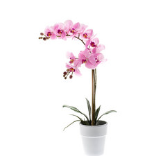 Potted Phalaenopsis Plant