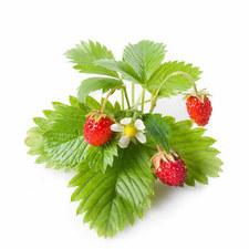 Three Strawberry Pods